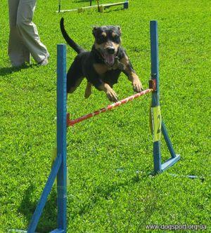 Аза - найшвидший собака (вл. Мартиненко Іра)